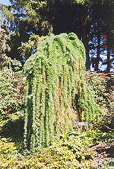 Weeping  Larch (Larix decidua 'Pendula') at Green Haven Garden Centre