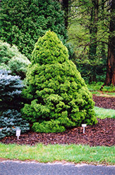 Dwarf Alberta Spruce (Picea glauca 'Conica') at Green Haven Garden Centre