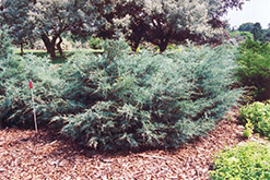 Savin Juniper (Juniperus sabina) at Green Haven Garden Centre