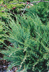 Sea Green Juniper (Juniperus chinensis 'Sea Green') at Green Haven Garden Centre