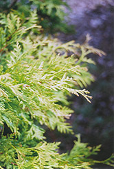 Golden Globe Arborvitae (Thuja occidentalis 'Golden Globe') at Green Haven Garden Centre