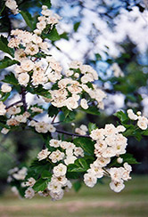 Snowbird Hawthorn (Crataegus x mordenensis 'Snowbird') at Green Haven Garden Centre