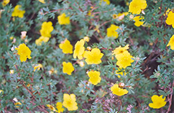 Yellow Gem Potentilla (Potentilla fruticosa 'Yellow Gem') at Green Haven Garden Centre