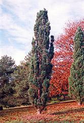 Columnar Scotch Pine (Pinus sylvestris 'Fastigiata') at Green Haven Garden Centre