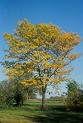 Northern Acclaim Honeylocust (Gleditsia triacanthos 'Harve') at Green Haven Garden Centre