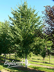Lone Star Linden (Tilia cordata 'BySkinner') at Green Haven Garden Centre