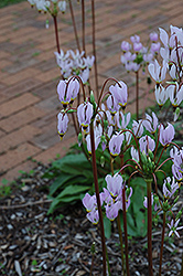 Shooting Star (Dodecatheon meadia) at Green Haven Garden Centre