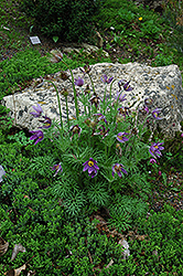 Pasqueflower (Pulsatilla vulgaris) at Green Haven Garden Centre