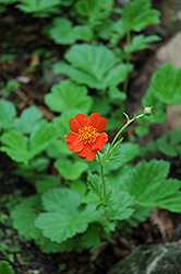 Werner Arends Avens (Geum 'Werner Arends') at Green Haven Garden Centre