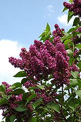 Charles Joly Lilac (Syringa vulgaris 'Charles Joly') at Green Haven Garden Centre