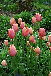 Menton Tulip (Tulipa 'Menton') at Green Haven Garden Centre