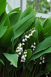 Lily-Of-The-Valley (Convallaria majalis) at Green Haven Garden Centre