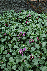 Red Nancy Spotted Dead Nettle (Lamium maculatum 'Red Nancy') at Green Haven Garden Centre