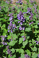 Dropmore Blue Catmint (Nepeta x faassenii 'Dropmore Blue') at Green Haven Garden Centre