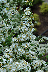 Fairy Queen Spirea (Spiraea trilobata 'Fairy Queen') at Green Haven Garden Centre