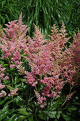 Amethyst Astilbe (Astilbe x arendsii 'Amethyst') at Green Haven Garden Centre
