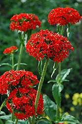 Maltese Cross (Lychnis chalcedonica) at Green Haven Garden Centre