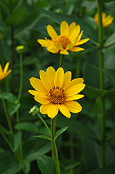 False Sunflower (Heliopsis helianthoides) at Green Haven Garden Centre