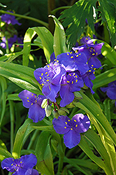 Sweet Kate Spiderwort (Tradescantia x andersoniana 'Sweet Kate') at Green Haven Garden Centre