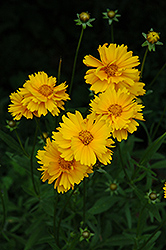 Early Sunrise Tickseed (Coreopsis 'Early Sunrise') at Green Haven Garden Centre
