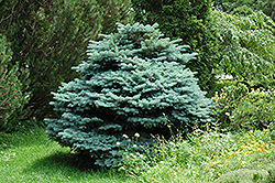 Globe Blue Spruce (Picea pungens 'Globosa') at Green Haven Garden Centre