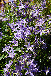 Italian Bellflower (Campanula garganica) at Green Haven Garden Centre