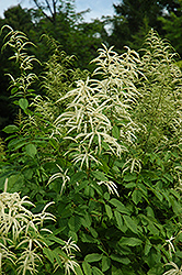 Goatsbeard (Aruncus dioicus) at Green Haven Garden Centre