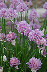 Chives (Allium schoenoprasum) at Green Haven Garden Centre