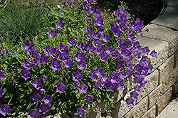 Blue Clips Bellflower (Campanula carpatica 'Blue Clips') at Green Haven Garden Centre
