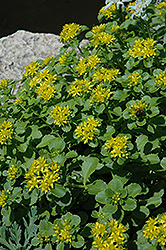 Russian Stonecrop (Sedum kamtschaticum) at Green Haven Garden Centre