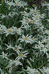 Alpine Edelweiss (Leontopodium alpinum) at Green Haven Garden Centre
