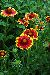 Goblin Blanket Flower (Gaillardia x grandiflora 'Goblin') at Green Haven Garden Centre