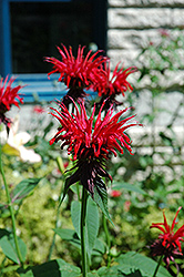 Jacob Cline Beebalm (Monarda 'Jacob Cline') at Green Haven Garden Centre