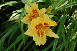 Black Eyed Stella Daylily (Hemerocallis 'Black Eyed Stella') at Green Haven Garden Centre