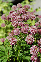 Hadspen Blood Masterwort (Astrantia major 'Hadspen Blood') at Green Haven Garden Centre