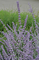 Russian Sage (Perovskia atriplicifolia) at Green Haven Garden Centre