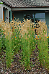 Karl Foerster Reed Grass (Calamagrostis x acutiflora 'Karl Foerster') at Green Haven Garden Centre
