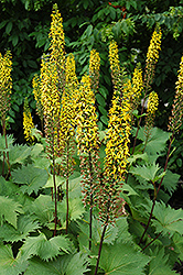 The Rocket Rayflower (Ligularia 'The Rocket') at Green Haven Garden Centre