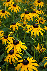 Black Eyed Susan (Rudbeckia fulgida 'Goldsturm') at Green Haven Garden Centre