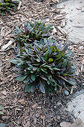 Chocolate Chip Bugleweed (Ajuga reptans 'Chocolate Chip') at Green Haven Garden Centre