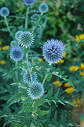 Globe Thistle (Echinops ritro) at Green Haven Garden Centre