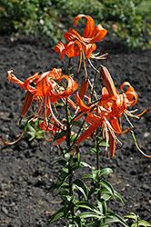 Tiger Lily (Lilium lancifolium) at Green Haven Garden Centre