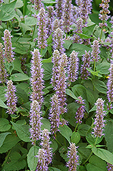 Blue Fortune Anise Hyssop (Agastache 'Blue Fortune') at Green Haven Garden Centre