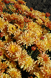 Tiger Tail Chrysanthemum (Chrysanthemum 'Tiger Tail') at Green Haven Garden Centre