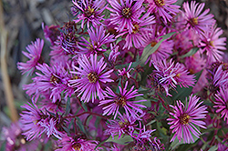 Woods Pink Aster (Aster 'Woods Pink') at Green Haven Garden Centre