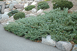 Hughes Juniper (Juniperus horizontalis 'Hughes') at Green Haven Garden Centre