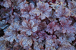 Plum Pudding Coral Bells (Heuchera 'Plum Pudding') at Green Haven Garden Centre