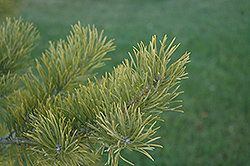 Scotch Pine (Pinus sylvestris) at Green Haven Garden Centre