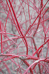 Siberian Dogwood (Cornus alba 'Sibirica') at Green Haven Garden Centre