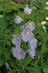 Guardian Lavender Larkspur (Delphinium 'Guardian Lavender') at Green Haven Garden Centre